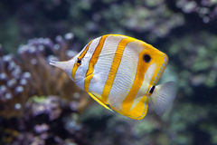 Copperband butterflyfish Chelmon rostratus. Royalty Free Stock Images