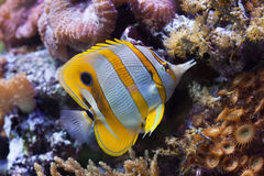 Copperband butterflyfish (Chelmon rostratus). Royalty Free Stock Image