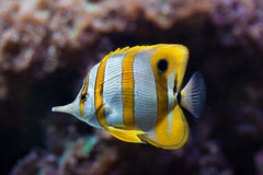 Copperband butterflyfish (Chelmon rostratus). Stock Images