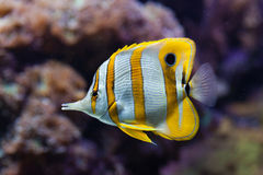 Copperband butterflyfish (Chelmon rostratus). Royalty Free Stock Photos