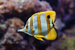 Copperband butterflyfish (Chelmon rostratus). Royalty Free Stock Photos