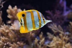 Copperband butterflyfish (Chelmon rostratus). Stock Photo