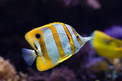 Copperband butterflyfish (Chelmon rostratus). Stock Photography
