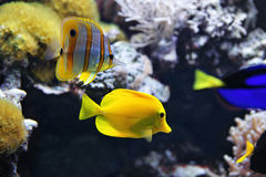 Copperband Butterflyfish Chelmon rostratus, and Yellow tang Zebrasoma flavescens. Copperband Butterflyfish Chelmon rostratus also commonly called the Beak Stock Images