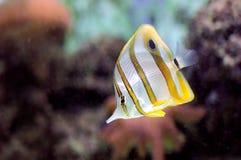 Copperband butterflyfish (den Chelmon rostratusen) fotografering för bildbyråer