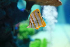 Copperband butterflyfish. Are found at depths of 1−25 metres either alone or in pairs. These fish form monogamous pairs during breeding. They are usually Stock Images