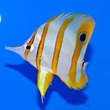Copperband butterflyfish. Juvenile Chelmon rostratus butterfly fish on a blue background in an aquarium Royalty Free Stock Photos
