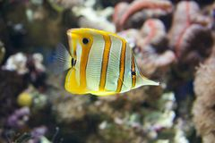 Copperband butterflyfish swimming through a coral reef Royalty Free Stock Image