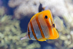 Copperband butterflyfish Obraz Royalty Free