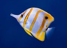 Copperband motyla ryba Zdjęcie Royalty Free