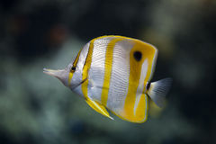 Copperbanded butterfly-fish Royalty Free Stock Photo