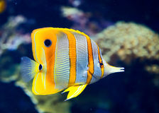 Copperbanded butterflyfish Royalty Free Stock Images