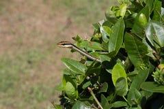 Copperhead在灌木外面的吃鼠的蛇 免版税库存照片