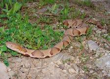 copperhead爬行的欧塞奇蛇 免版税库存图片