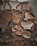 Copperhead蛇蝮蛇属Contortrix 库存照片