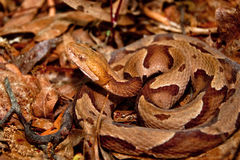 Copperhead蛇(蝮蛇属contortrix) 免版税图库摄影