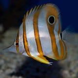 Copperhead蝴蝶鱼Chelmon rostratus 免版税库存照片