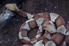 Copperhead (蝮蛇属contortrix) 库存照片