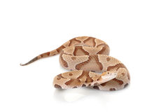 Copperhead Royalty Free Stock Photography