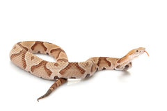 Copperhead Royalty Free Stock Photos