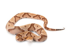 Copperhead Royalty Free Stock Image