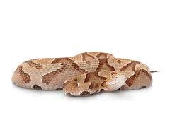 copperhead Obrazy Stock