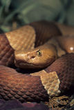 Copperhead. The copperhead (Agkistrodon contorix) is one of the most common venomous snakes of North America Royalty Free Stock Photo