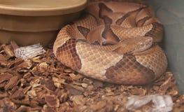 copperhead Zdjęcie Royalty Free