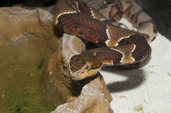 Copperhead (Agkistrodon contortrix) Stock Photos