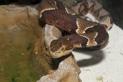 Copperhead (Agkistrodon contortrix) Zdjęcia Stock