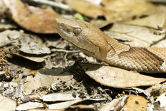 Copperhead (Agkistrodon contortrix) royalty free stock photos