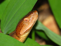 Copperhead Snake (Agkistrodon contortrix) Stock Images