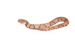 Copperhead Agkistrodon contortrix odizolowywający Fotografia Stock