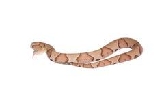 Copperhead Agkistrodon contortrix odizolowywający Obraz Royalty Free