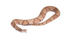 Copperhead Agkistrodon contortrix odizolowywający Zdjęcie Royalty Free