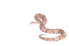 Copperhead Agkistrodon contortrix odizolowywający Zdjęcia Royalty Free