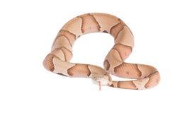 Copperhead Agkistrodon contortrix odizolowywający Obrazy Stock