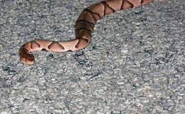 Copperhead. Close up of a copperhead snake Agkistrodon contortrix in the road Stock Photos