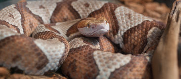 Copperhead Coiled Imagem de Stock Royalty Free