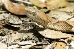 Copperhead (contortrix del Agkistrodon) Fotografie Stock Libere da Diritti