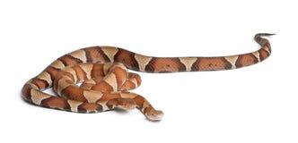 copperhead górski kierpec wąż Zdjęcie Stock