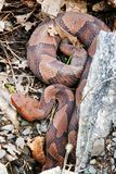 Copperhead nordique Photos stock