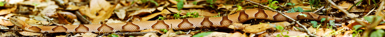 Copperhead Panorama Stock Images