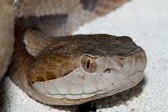 Copperhead Portrait Stock Images