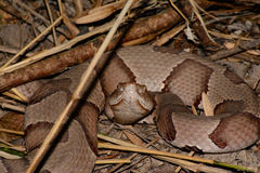 Copperhead Ready to Strike Royalty Free Stock Image
