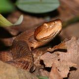 Copperhead-Schlange (Agkistrodon contortrix) Stockfotografie