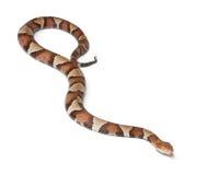 Copperhead Schlange oder Hochlandmokassin Lizenzfreies Stockbild