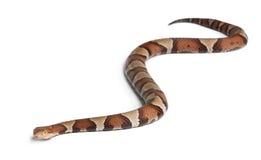 Copperhead Schlange oder Hochlandmokassin Lizenzfreie Stockfotografie