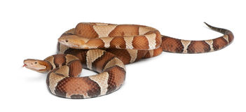Copperhead Schlange oder Hochlandmokassin Stockbilder