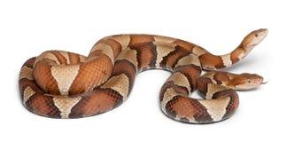 Copperhead Schlange oder Hochlandmokassin Stockbild